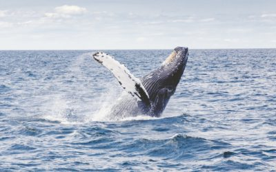 Japan has Establish More Sustainable Whaling Requirements
