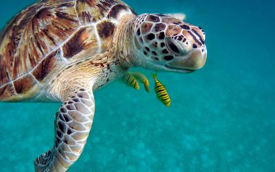 Climate Changes Affect On Sea Turtles